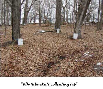 Sap collection in white buckets